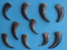 A-Braunbärenkralle