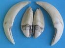 Wildschweinzähne